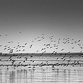 Duck Over Lake 1 B_w by Peter Scott