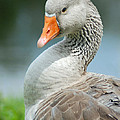 Duck Pose by Diane Bell