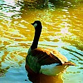 Duck Swimming Away by Amy Vangsgard