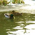 Duck Swimming In A Frozen Lake by Jeelan Clark