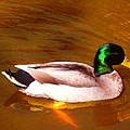 Duck Swimming On Golden Pond by Amy Vangsgard