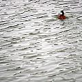 Duck Wake by Marc Levine