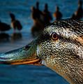 Duck Watching Ducks by Bob Orsillo