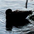 Duck Waves by Gaurav Singh