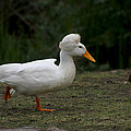 Duck With Stylish Hair by Diana Haronis