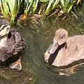 Duckies In The Pond by Susan Provan