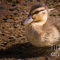 Duckling by Andrea Goodrich