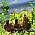 Ducklings by Paul Wilford