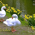 Ducks And Daffodils Greeting by Joan-Violet Stretch