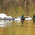 Ducks And Egret by Tom Janca