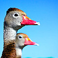 Ducks At Attention by Mark Andrew Thomas