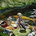 Ducks At The Koi Pond by Douglas Barnard