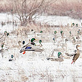 Ducks by Cheryl Birkhead