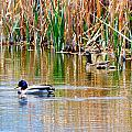 Ducks In A Marsh by Brent Dolliver