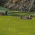 Ducks In Duck Weed by Bill Barber