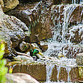 Ducks In The Falls by Allen Sheffield
