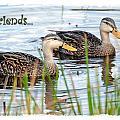Ducks by Mark Baker