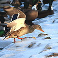 Ducks On Ice by David Dufresne