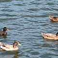Ducks On Spaulding Pond by Geoffrey McLean