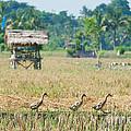 Ducks by Yew Kwang