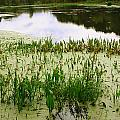 Duckweed Reflection by Matt Johnson