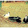 Ducky Afternoon by YoMamaBird Rhonda
