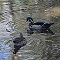 Ducky by Linda Kerkau