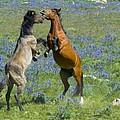 Dueling Mustangs by Gary Beeler