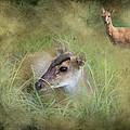 Duiker Endangered Antelope by J Darrell Hutto