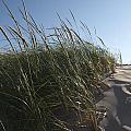 Dune Grass by Tara Lynn