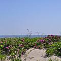 Dune Roses by Ellen Paull