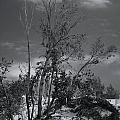 Dunes Tree Bw by Tim Brandt