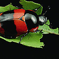 Dung Beetle Panama by Mark Moffett