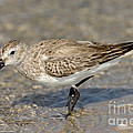 Dunlin Calidris Alpina In Winter Plumage by Anthony Mercieca