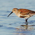 Dunlin by Ken Archer