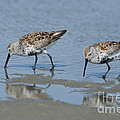 Dunlins by Anthony Mercieca