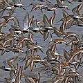 Dunlins In Flight by Patrick Forster