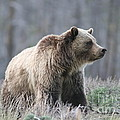 Dunraven Grizzly by Wonders of Nature Photography