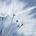 Dusty Blue Dandelion Clock And Water Droplets by Natalie Kinnear