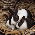 Dutch Rabbit With Young by E A Janes