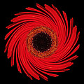 Dying Amaryllis Flower Mandala by David J Bookbinder