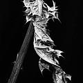 Dying Leaf by Robert Woodward