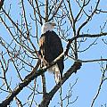 Bald Eagle Profile by Ian Mcadie
