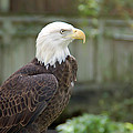 Eagle 2 by Aimee L Maher ALM GALLERY
