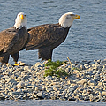 Eagle Couple by David Oberman