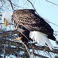 Eagle Eye by Alison Gimpel