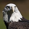 Eagle Eye by Paul Cannon