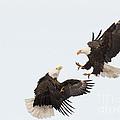 Eagle Fight by Deby Dixon