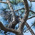 Eagle Flight Prep by Michael Gooch