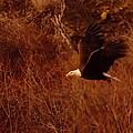 Eagle In Flight by Jeff Swan